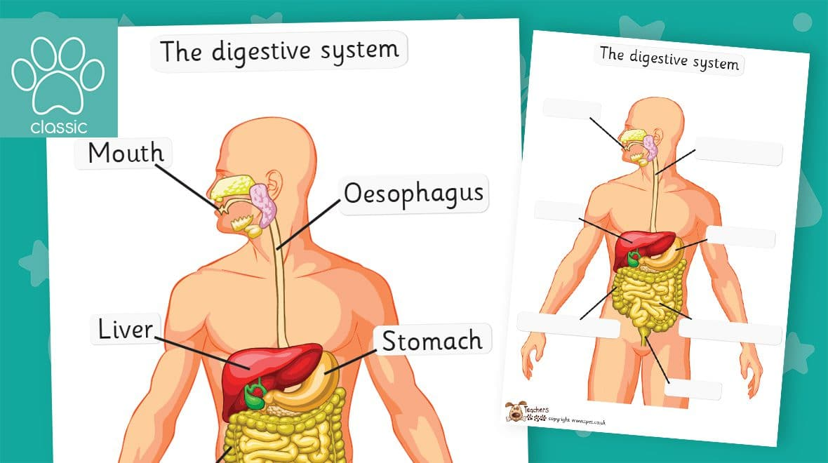 digestive system labelling